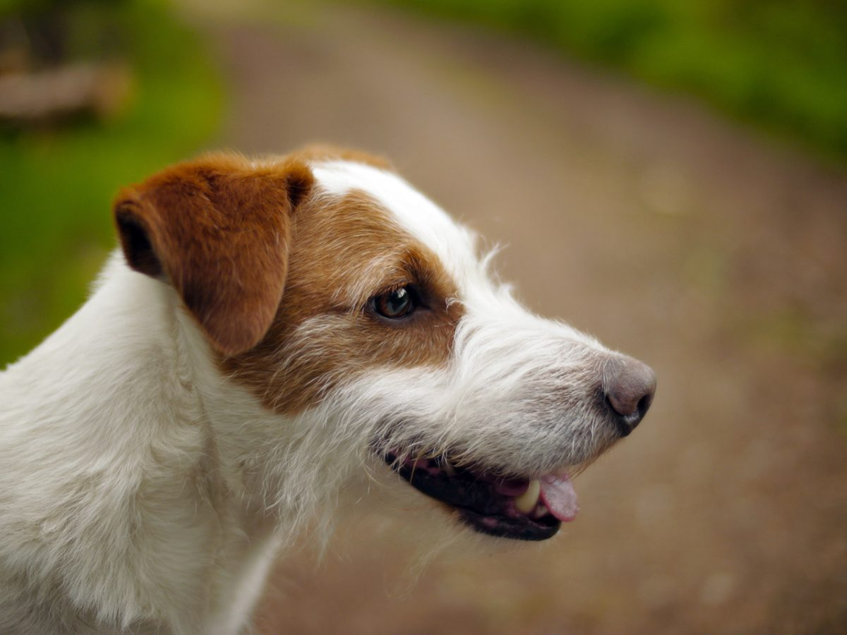 The Interesting Things to Know about Jack Russell Terriers